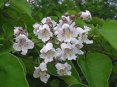 Catalpa bignoniodes - Indian Bean Tree - Plant in 9cm Pot