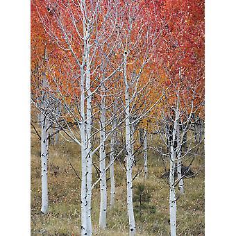 Autumn quaking Aspen trees Boulder Mountain Utah USA Poster Print