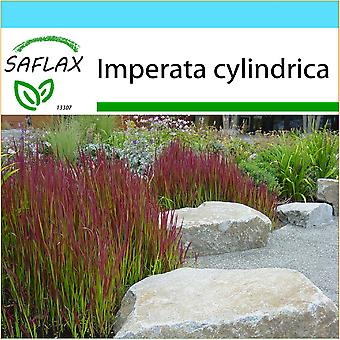 Saflax - Gift Set - 50 seeds - Cogongrass - Impérate cylindrique - Erba del sangue giapponese - Hierba sangrienta japonesa - Japanisches Blutgras