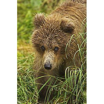 カトマイ国立公園、南西アラスカの米国 PosterPrint の維持、草に立ってヒグマ (Ursus arctos) カブのクローズ アップ