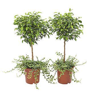 Val av grön - uppsättning 2 Ficus Pumila - krypande