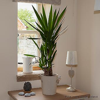 Yucca 2 stem 45/20cm in 17cm Pot 80cm Tall