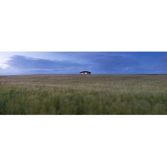 Barley field with a house in the background Orkney Islands Scotland Poster Print