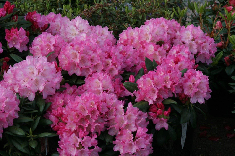 Rhododendron yakushimanum Kalinka - Dwarf Rhododendron - Plant in 9cm Pot