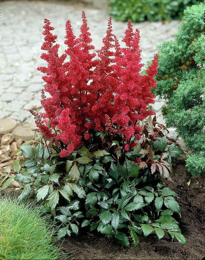 Astilbe arendsii Fanal - Astilbe - Plant in 9cm Pot