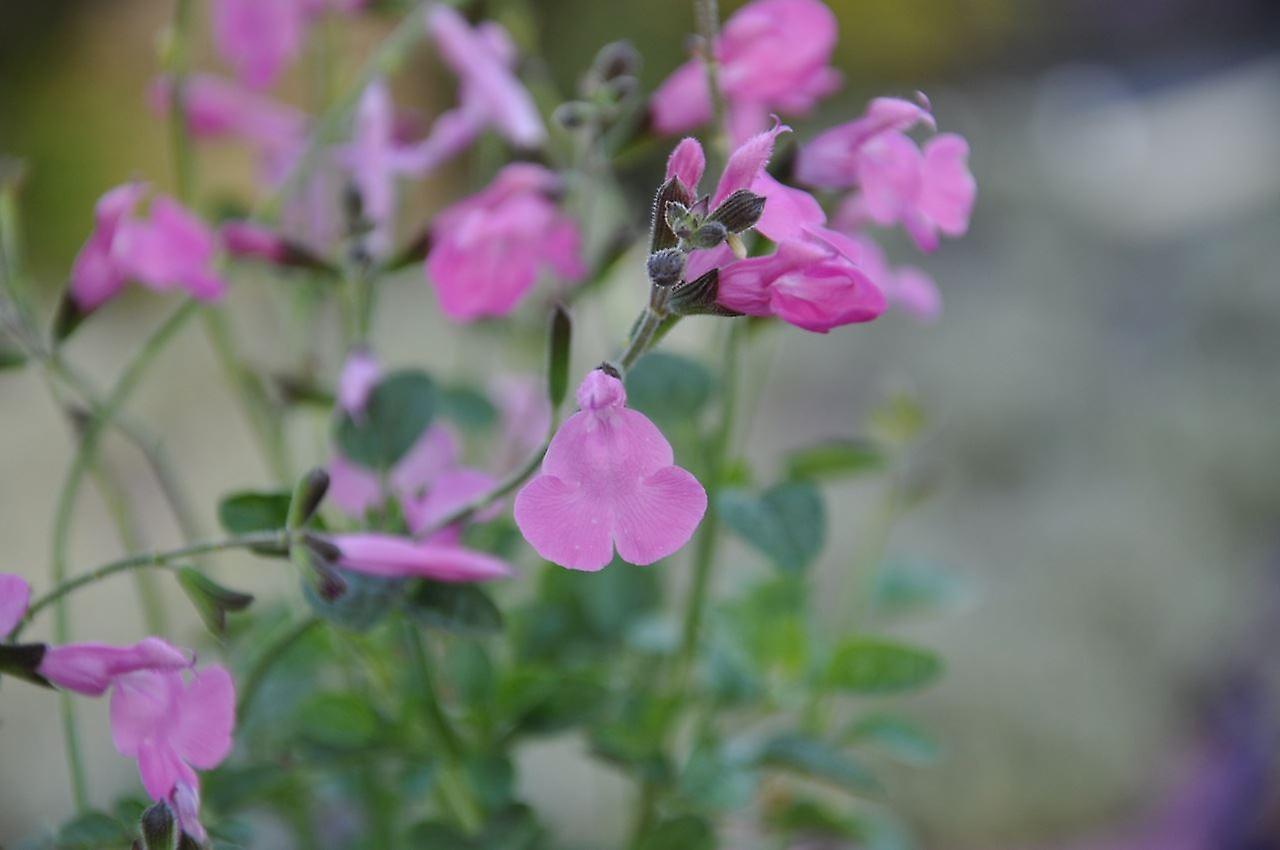 Salvia greggii Pink Blush - Autumn Sage - Plant in 7cm Pot