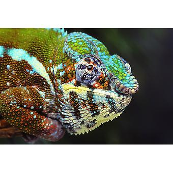 Male panther chameleon (furcifer pardalis)British columbia canada PosterPrint