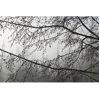 Alder Cones Dripping With Moisture Hang Off Branches On A Misty Morning In Tongass National Forest Southeast Alaska Winter PosterPrint