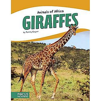 Djur i Afrika: giraffer