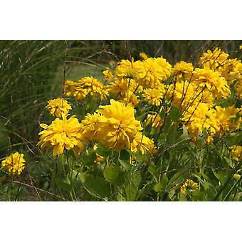 Rudbeckia laciniata Goldquelle - Coneflower, Plant in 9cm Pots