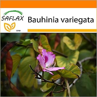 Saflax - Garden in the Bag - 8 seeds - Camel Foot Tree - Arbre à orchidées - Albero delle orchidee - Árbol orquídea - Orchideen-Baum