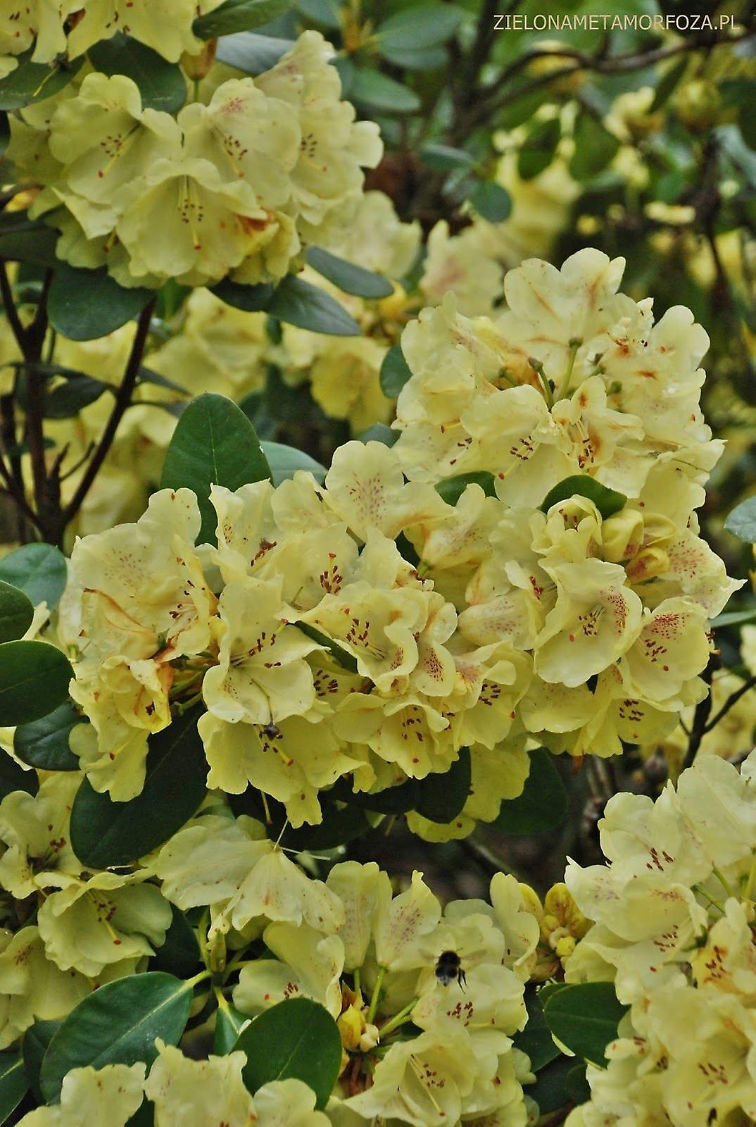 Rhododendron yakushimanum Goldkrone - Dwarf Rhododendron - Plant in 9cm Pot
