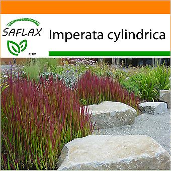 Saflax - Garden in the Bag - 50 seeds - Cogongrass - Impérate cylindrique - Erba del sangue giapponese - Hierba sangrienta japonesa - Japanisches Blutgras