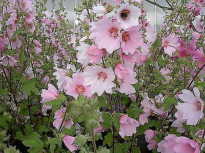 Lavatera x clementii Barnsley - Mallow - Plant in 9cm Pot