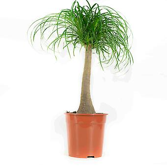 Choice of Green - 1 Beaucarnea Recurvata - Ponytail palm