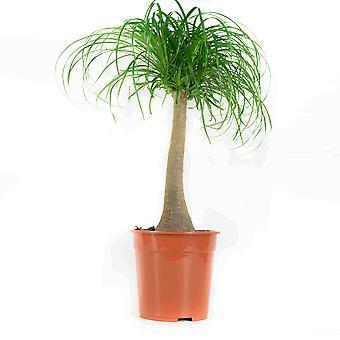 Opción verde - 1 Beaucarnea Recurvata - palma cola de caballo