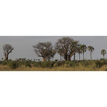 Trees in a forest Linyanti Concession Botswana Poster Print