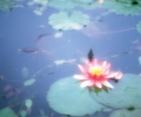 Rose Lotus FFaibleer in Pool Poster Print by Panoramic Images (36 x 30)