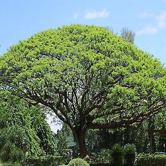 Acacia Koa (Hawaiian Acacia) - Plant