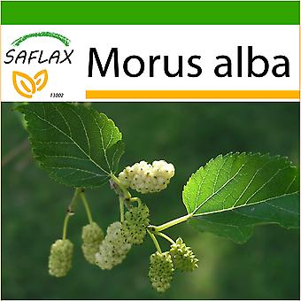 Saflax - 200 seeds - With soil - White Mulberry - Mûrier blanc - Moro bianco - Morera blanca - Weißer Maulbeerbaum