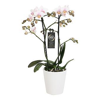Escolha do verde - 1 branco orquídea Grandi ou orquídea borboleta