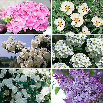 Summer Flowering Hardy Shrub collection - 6 plants in 9cm pots 20-30cm tall
