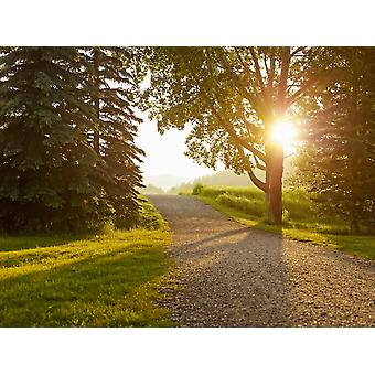 Sunlight shines through the trees lining a gravel path at sunset Cochrane Alberta Canada Poster Print by Ian Grant  Design Pics