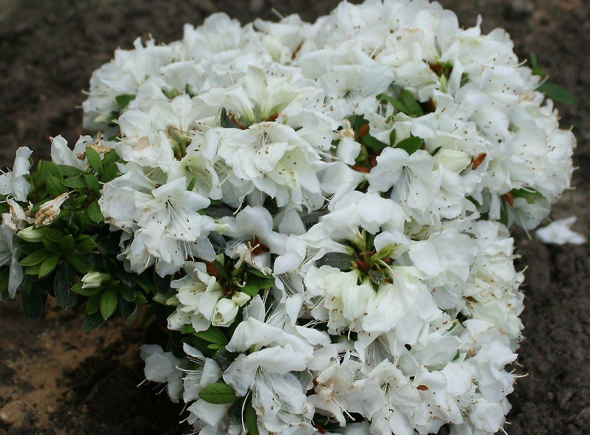 Azalea japonica Niagara - Plant in 9cm Pot