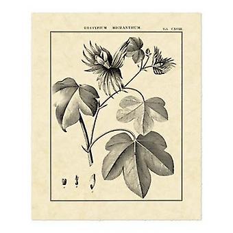 Estudio botánica Vintage IV cartel imprimir por Sellier (16 x 20)