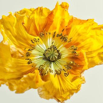 Yellow Poppy 1 Poster Print by Dianne Poinski