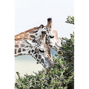 Maasai Giraffe Maasai Mara Game Reserve Kenia Poster Print by Martin Zwick