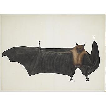 Poster gigante grande indiano pipistrello della frutta di dipinto attribuito a Bhawani Das (18 x 24)