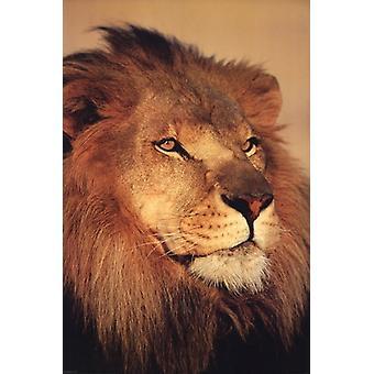 Lion lukke op plakat plakat Print