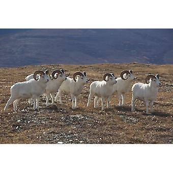 Eine Bande von Dallschafe Rams In einem High Mountain Meadow Denali Nationalpark und Reservat innen Alaska Herbst PosterPrint