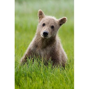 Grizzly Bear yearling cub among sedges Katmai National Park Alaska Poster Print by Matthias Breiter