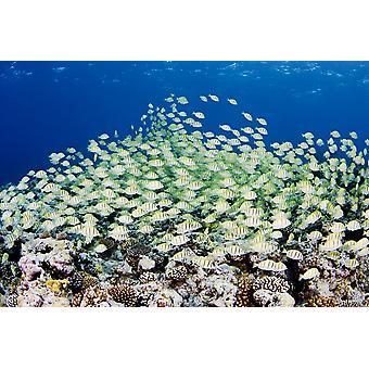 Micronésia escolaridade condenado Acanthuridae (Acanthurus Triostegus) acima de corais PosterPrint Yap