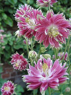Aqueligea vulgaris Nora Barlow - Columbine - Perennial - Plant in 9cm Pot