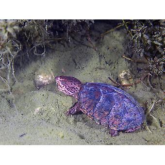 アカウミガメの甲羅干しポスター印刷