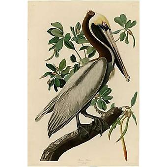 Brown Pelican Poster Print by  John James Audubon
