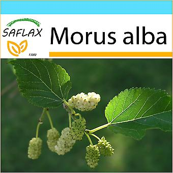 Saflax - Gift Set - 200 seeds - White Mulberry - Mûrier blanc - Moro bianco - Morera blanca - Weißer Maulbeerbaum