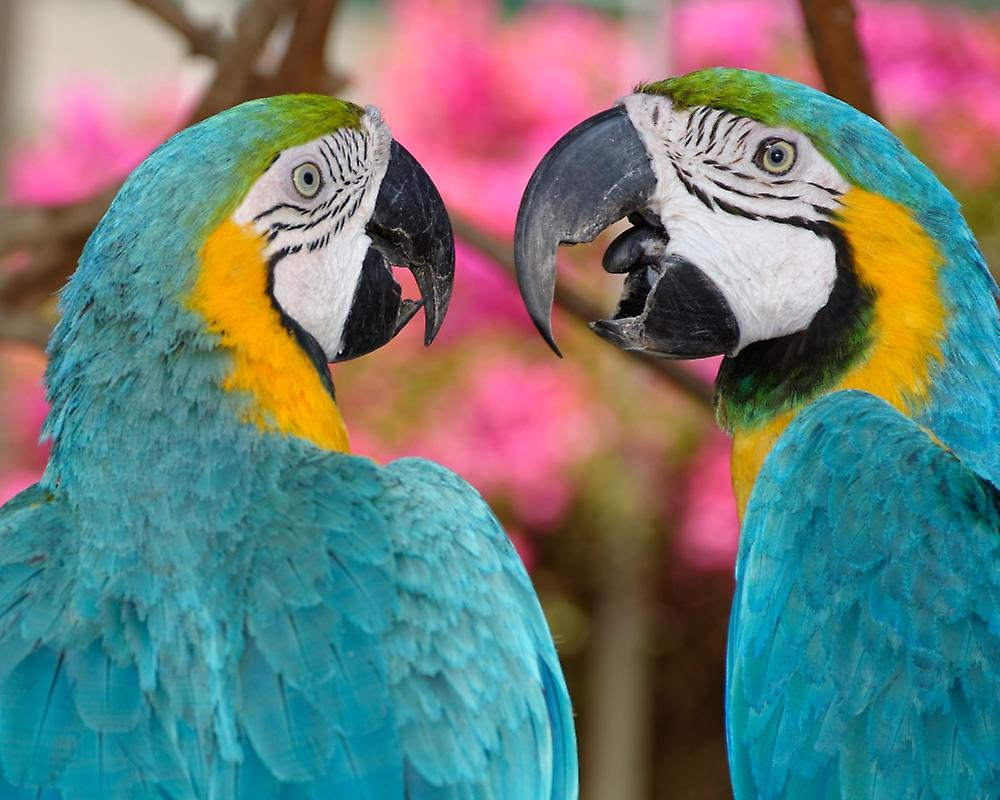 Pair of bleu and or macaws engaged in conversation Baluarte Zoo Vigan Ilocos Sur Philippines Poster Print by Panoramic Images (28 x 22)