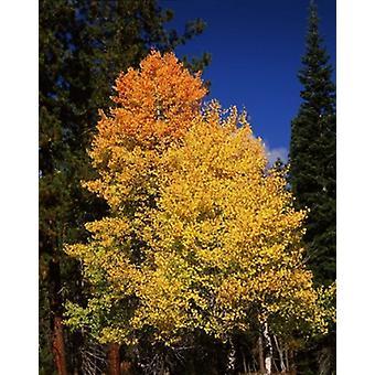 Ponderosa Pine mit Aspen und Tanne Bäume im Herbst Crater Lake National Park Oregon USA Poster Print von Panorama-Aufnahmen (29 x 36)