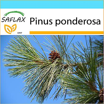 Saflax - Gift Set - 20 seeds - Ponderosa Pine - Pin ponderosa - Pino giallo - Pino amarillo occidental - Goldkiefer