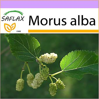 Saflax - 200 seeds - White Mulberry - Mûrier blanc - Moro bianco - Morera blanca - Weißer Maulbeerbaum