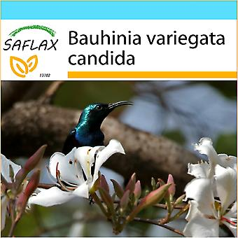Saflax - Gift Set - 5 frön - White Orchid Tree - Arbre aux orchidées blanches - Albero di orchidea bianca - Árbol orquídea blanca - Weißer Orchideenbaum