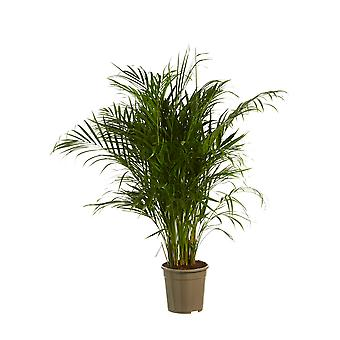 Botanicly - Indoor trees | Gold palm | Height: 125 cm | Dypsis lutescens