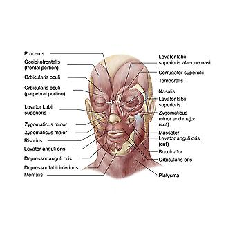 Facial muscles of the human face Poster Print