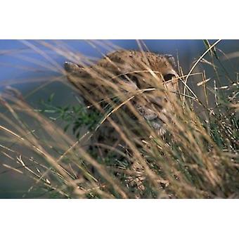 Гепард, опираясь на Саванна Масаи Мара заповедника Кении плакат печати Пол Саудерс