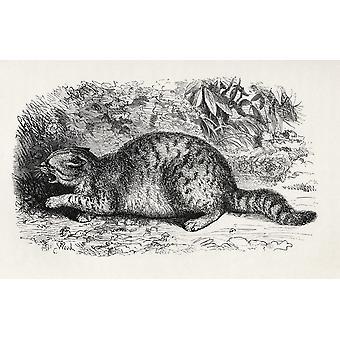 猫野蛮なと本人間の感情の表現からウッドさんの人生から描き下ろしイラストを戦うために準備と普及版からチャールズ ・ ダーウィンの動物出版 1904年ポステ