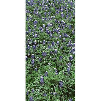 High angle view of plants Bluebonnets Austin Texas USA Poster Print